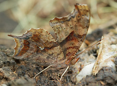 ? for Wing Wednesday (cotinis) Tags: insect lepidoptera butterfly nymphalidae nymphalinae polygonia polygoniainterrogationis questionmark northcarolina piedmont canonef100mmf28macrousm bmna nc may inaturalist wingwednesday