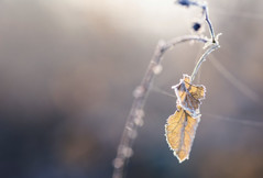 Winter's Solitude (MorningLord) Tags: nature macro closeup bough branch leaf winter seasonal cold light morning early dried frost meadows fields outdoors mood bright nikon d810 zeiss makroplanart2100