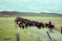 Tibetan Nomad Moving (hiphopmilk) Tags: copyright©jaredyehwooehmoehfilms konica offroad 現場監督 zoom 35mm 135film film analog analogue jaredyeh hiphopmilk kodak travel china sichuan aba hongyuan tibetan longri yaks yak horse moving nomad grassland plateau mountain cloud plain