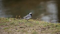 Wagtail (2/2) : White, Grey and Yellow (Franck Zumella) Tags: wagtail gray jaune bergeronnette grise yellow bird oiseau nature green vert tree arbre light shadow lumiere ombre lumière wildlife feeding feed food nourrir nourriture white