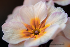 Canon 77d 60mm 2.8 macro usm (Jasrmcf) Tags: canon canoneos canon77d eos 60mmmacro 60mm28usm macro dof detail depthoffield delicate bokehgraph bokeh bokehlicious garden nature ngc greatphotographers colourartaward colourful colours dreamy beautiful closeup flower flowers