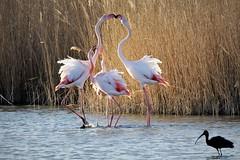 flamant rose 19C_1148 (Bernard Fabbro) Tags: camargue flamant rose flamingo