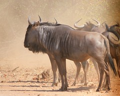 Blue Wildebeest / Blouwildebees (Pixi2011) Tags: wildlife krugernationalpark southafrica africa nature animals