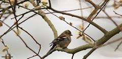 J78A0197 (M0JRA) Tags: robins birds humber ponds lakes people trees fields walks farms traylers