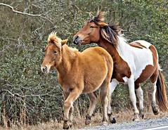 Pony 2019-1 (hughva) Tags: assateague pony