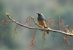 White-eared Sibia 白耳畫眉 (Jerry Ting) Tags: whiteearedsibia 白耳畫眉 dasyueshannationalforestrecreationarea taichung taiwan