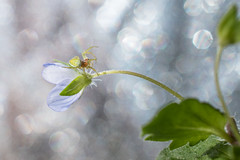 Macro world (nathan.chaulet) Tags: macro macrophotographie macrolife spider nikon d500 flower nature life wildlife wildlifephotography nikkor40mm28 bokeh earth