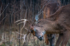 HangOnForDeerLife (jmishefske) Tags: greenfield rubbing parkway nikon antler wildlife rack wisconsin d500 buck whitetail rootriver 2019 deer april