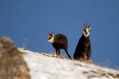 Camoscio-Rupicapra Rupicapra (riccardo stra) Tags: camoscio rupicapra chamois nature wild neve montagna montagne natura valle daosta piccolo mamma natural snow animals sauvage selvatico selvaggio cucciolo alpi alpes