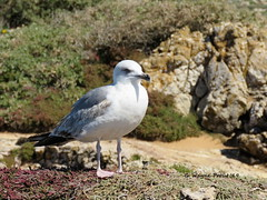Yellow-legged Gull (Larus michahellis)Juvenile (Gerald (Wayne) Prout) Tags: yellowleggedgull larusmichahellis animalia chordata aves charadriiformes laridae larus michahellis yellowlegged gull gulls seabirds seabird bird birds animal animals fauna wildlife nature waterbird waterbirds capeofsaintvincent cabodesaovicente municipalityofviladobispo sagres algarve southern portugal prout geraldwayneprout canon canonpowershotsx60hs powershot sx60 hs digital camera photographed photography cape saintvincent saovicente region municipality viladobispo cliffs lighthouse