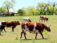 Texas Longhorns (austexican718) Tags: centraltexas hillcountry ranch cattle longhorn rural cow herd grass trees sky animal gillespiecounty