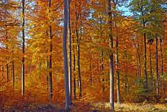 Herbstlicher Rotbuchenwald (anubishubi) Tags: nikond60 wald forest bäume trees herbst autumn buche buchenwald blätter deutschland hessen lahndillkreis