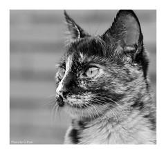 Lily (Graham Pym On/Off) Tags: kitten nikon d7100 cat portrait feline tortoiseshell fantasticnature coth alittlebeauty sundaylights