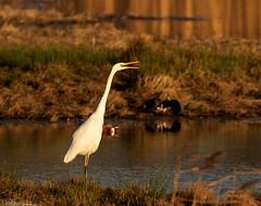Great White Egret at first light (Steve (Hooky) Waddingham) Tags: animal planet countryside coast bird british wild wildlife water rutland