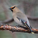 Bohemian Waxwing (Turk Images) Tags: bohemianwaxwing bombycillagarrulus alberta bowa birds bombycillidae edmonton urban winter backyard water