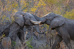 Tusk Battles... (DTT67) Tags: elephants canon1dxmkii sabisabi safari southafrica africa mammals animals wildlife nature