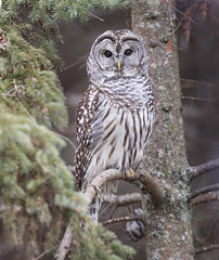 Barred Owl (Steve Rossi 2) Tags: owl barred winter wildlife ontario steverossi nature tree canon 5d4