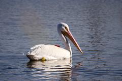 IMG23534 (bshinkara) Tags: balboawildlifereserve wildlife wildlifephotography animals bird birds pelican americanwhitepelican americanwhite pelecantuserythrorhynchos
