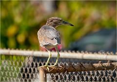juvenile black-crowned night heron adapting to city life (marneejill) Tags: honolulu urban juvenile blackcrowned night heron fence city