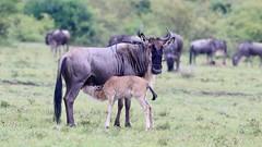 Wildebeest calf suckling (Nagarjun) Tags: masaimara kenya safari gamedrive herbivore