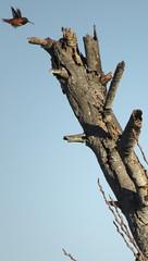 Allen's Hummingbird returning (stonebird) Tags: allenshummingbird selasphorussasin february img7873 ballonawetlandsecologicalreserve areab