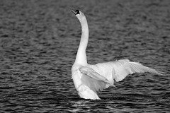 IMG_2478 (LezFoto) Tags: swan mute cygnusolor loirstonloch aberdeen scotland unitedkingdom canoneos700d sigma 700d canon 120400mmf4556dgapooshsm digitalslr dslr canonphotography sigmalens