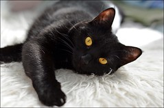 My cute Schnuggi... (Beckerhenning) Tags: nikon d600 afs50mm black cat katze kitten cute pet pets haustier hauskatze