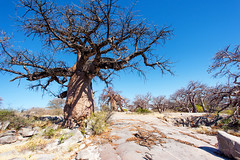 Rising from Rock _6938 (hkoons) Tags: kubuisland kukomeisland lakemakgadikgadi lekhubuisland makgadikgadipan nationalpark nxaipannationalpark nxaipan southernafrica suapan africa baobab botswana sowa sua tree ancient arbor bloom blossom branch branches bud buds canopy color flora flower green growth large leaf leaves limb limbs old outdoors pan panorama roots soil stem sun sunshine trees trunk nxai
