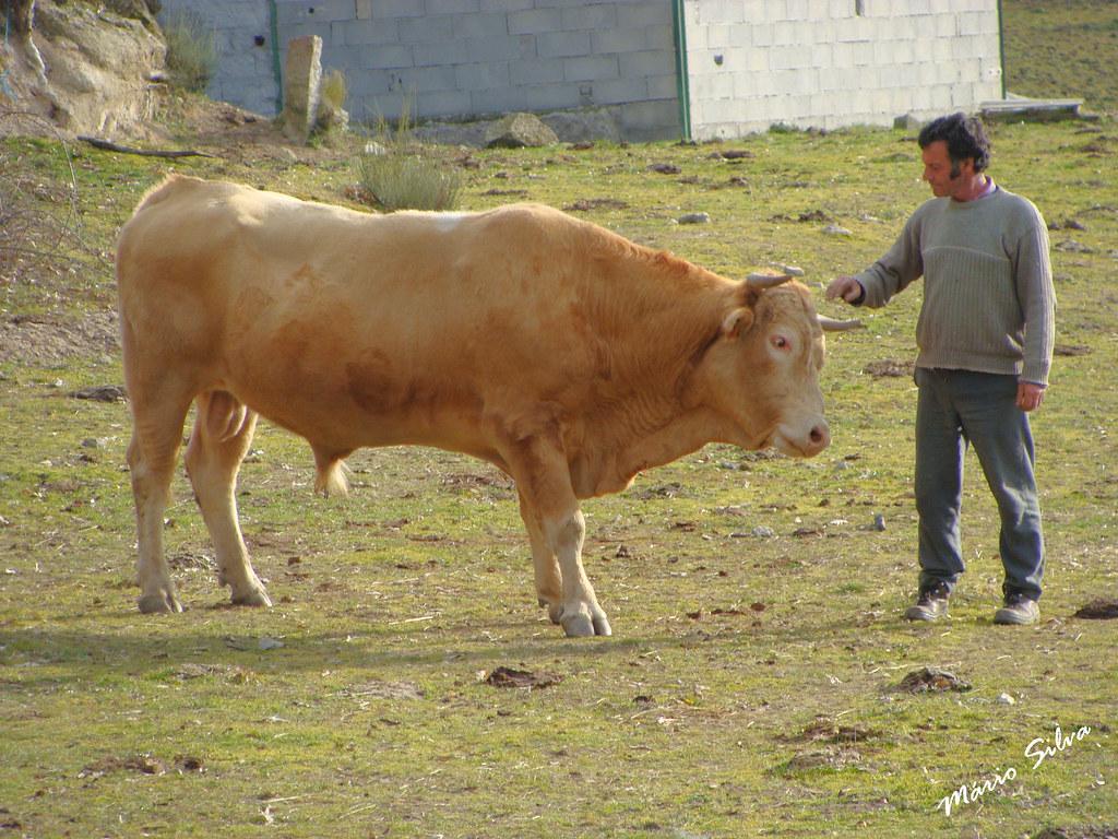 Águas Frias (Chaves) - ... a amizade com o touro ...