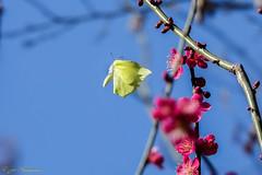 Papillon Citron .... En plein vol pas facile.! (Ezzo33) Tags: france gironde nouvelleaquitaine bordeaux ezzo33 nammour ezzat sony rx10m3 parc jardin papillon papillons butterfly butterflies specanimal papilloncitron gonepteryxrhamni