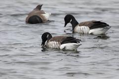 7K8A1069 (rpealit) Tags: scenery wildlife nature edwin b forsythe national refuge brigantine brand goose geese bird