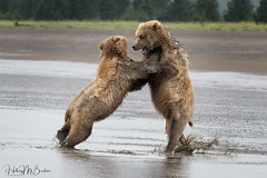 _HB32808 (Hilary Bralove) Tags: lakeclarknationalparkbrownbearsbearsalaskanikonwildlifegrizzlygrizzlybearbrownbearanimalswildlifephotographer alaksa brownbears grizzlybears bear bears grizzly brownbeargrizzly bearlake clarkwildlifealaska wildlifenikonlake clark national park