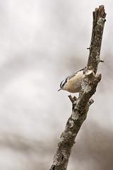full frame nuthatch (G_Anderson) Tags: nuthatch missouri winter birding backyard