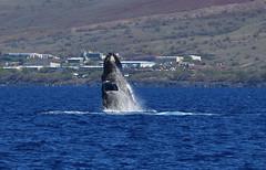 DSC_0562 (Don Holmgren) Tags: hawaii kohalacoast humpbackwhales whales breach
