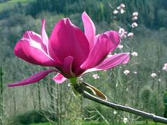 Magnolia 'Dr. Almandoz' (MAGNOLIACEAE). (helicongus) Tags: magnoliadralmandoz magnolia magnoliaceae jardínbotánicodeiturraran spain