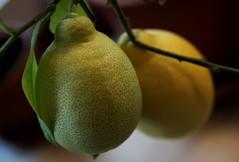 På kjøkkenbenken (dese) Tags: europa noreg skandinavia zitrone sitron lemon limonero limun citroen limone citron hordaland vestlandet vår spring primavera fusa europe maturelemons citrus march6 2019 mars lemons scandinavia strandvik 2 two gule gul gult yellow