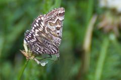 Aasaöölane; Euclidia (Callistege) mi; Mother Shipton (urmas ojango) Tags: lepidoptera liblikalised insecta putukad insects erebidae erebinae nationalmothweek euclidiami mothershipton aasaöölane callistege euclidia