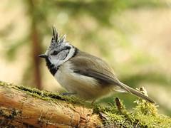 Crested Tit (Lophophanes cristatus) (eerokiuru) Tags: crestedtit lophophanescristatus haubenmeise czubatka tutttihane nikoncoolpixp900 p900 bird wildlife nature birding vogel