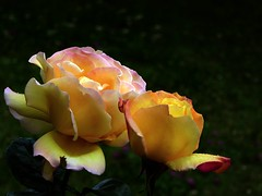 Peace (fotomie2009) Tags: flora flower fiore rose rosa yellow peace bud bocciolo bokeh 2 two due