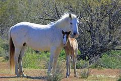His protector! (littlebiddle) Tags: horse wildlife nature equine wildhorses arizona saltriver
