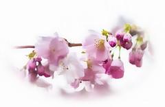 Romance ... (Julie Greg) Tags: flower flowers nautre colours soft tree colors canon canon77d