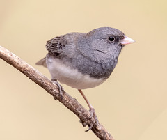 On the alert (tresed47) Tags: 2019 201903mar 20190313chestercountybirds birds canon7dmkii chestercounty content darkeyedjunco folder home march pennsylvania peterscamera petersphotos places season sparrow takenby us winter