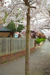 Spring Blossom @ Herne Hill.. (Adam Swaine) Tags: hernehill street london trees springblossom canon england english blossom britain british southlondon beautiful spring uk flora nature pink petals
