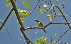 Cuenca del río Guatiquia (jhonfredyravesalazar) Tags: colombia guatiquia meta villavicencio birds pajareo aves avistamiento