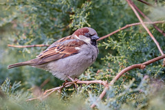 Male House Sparrow (chrisellis211) Tags: birds bird sparrow englishbird housesparrow common wild nature canon 80d bush peakdistrict
