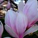 Pink Magnolia