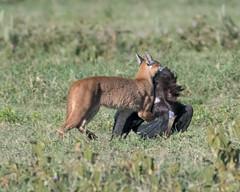 Caracal carrying prey, an Abdim's stork. (Mark Vukovich) Tags: caracal abdims stork cat mammal carrying prey dead kill ngorongoro crater tanzania