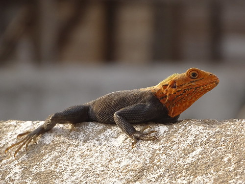 One of the many, omnipresent, colorful lizards