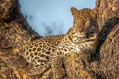 Golden Leopard (helenehoffman) Tags: africa conservationstatusvulnerable kenya leopard pantheraparduspardus africanleopard lewawildlifeconservancy coth alittlebeauty specanimal coth5 fantasticnature