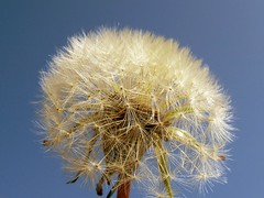 Dandelion clock (billnbenj) Tags: barrow cumbria springflower dandelionclock dandelion